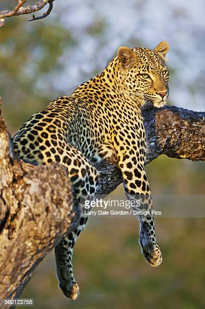 Leopard (Panthera pardus) relaxes in a tree in the late afternoon sunshine, Kruger National Park