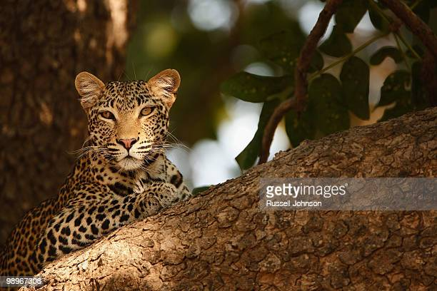 Leopard (Panthera Pardus) relaxes in tree, South Luangwa National Park, Zambia