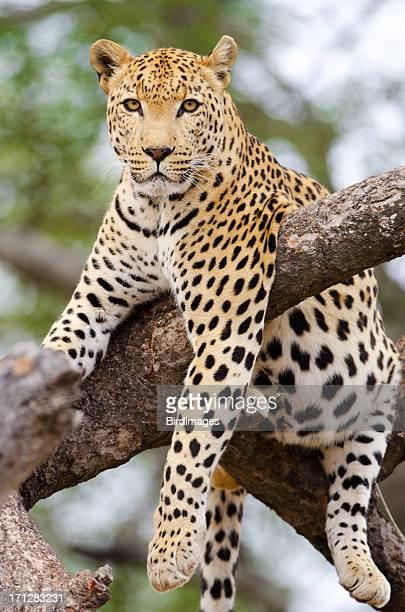 Léopard détendre dans un arbre-Afrique du Sud