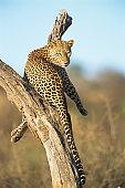 Leopard resting in dead tree