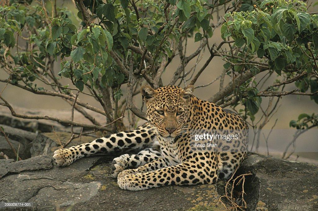 Leopard (Panthera pardus), resting on rock, Kenya : Stock Photo