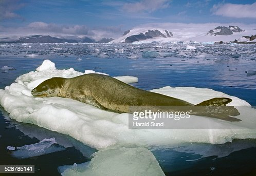 Leopard seal resting on an iceberg