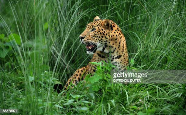 A leopard sits at the rehabilitation centre of the Jaldapara Wild Life Sanctuary some 165 kms from Siliguri on July 4 2009 The sanctuary located at...