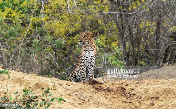 A leopard sits in the bush at Yala National Park in the southern district of Yala around 250 kms southwest of Colombo on September 16 2012 Yala...