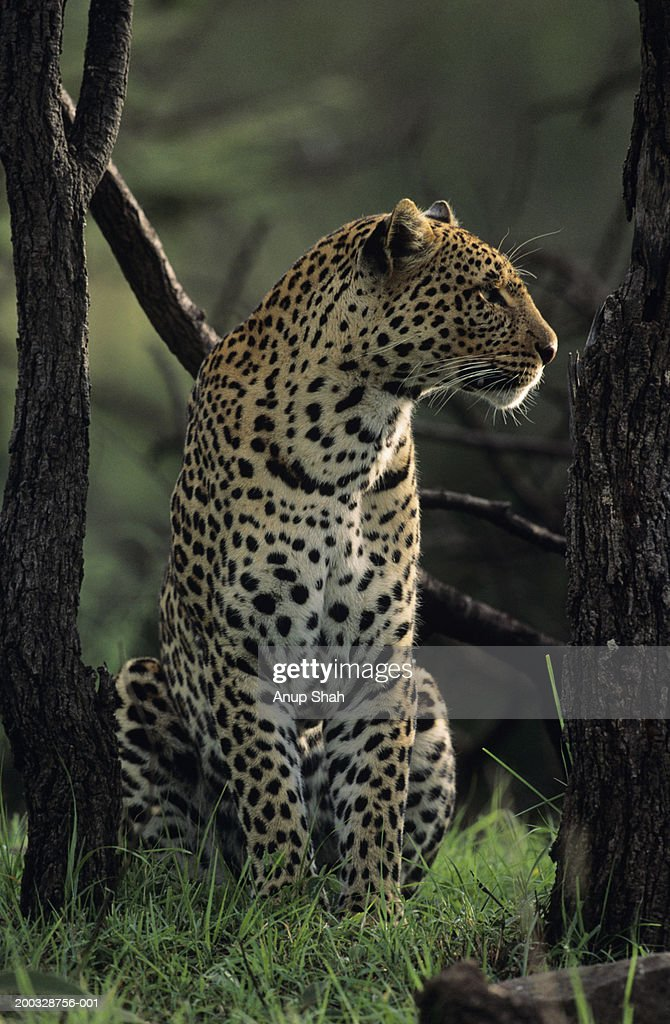 Leopard (Panthera pardus), sitting among trees, Kenya : Stock Photo
