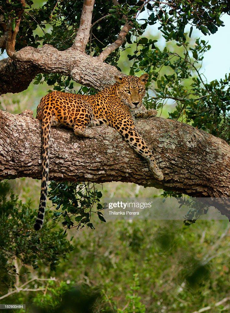 Leopard sitting on a branch