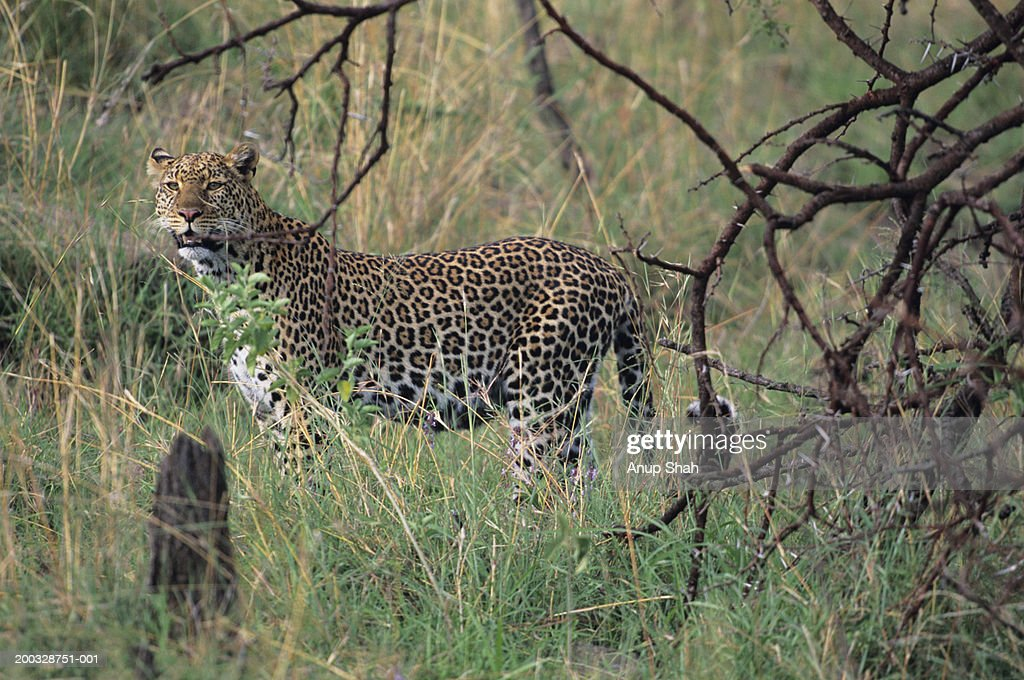 Leopard (Panthera pardus), standing in long grass, Kenya : Stock Photo