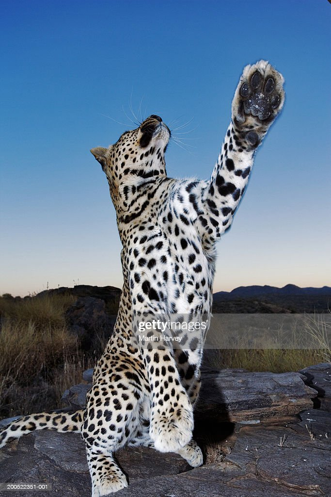 Leopard standing on hind legs : Stock Photo