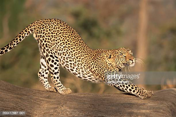 Leopard (Panthera pardus) stretching on log, side view