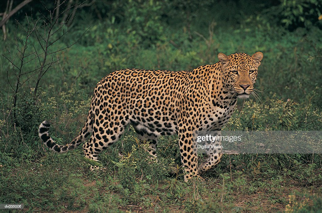 Leopard (Panthera pardus) walking in grass : Stock Photo