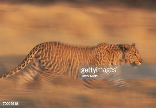 Leopard (Panthera pardus) walking, Namibia (blurred motion) : Stock Photo