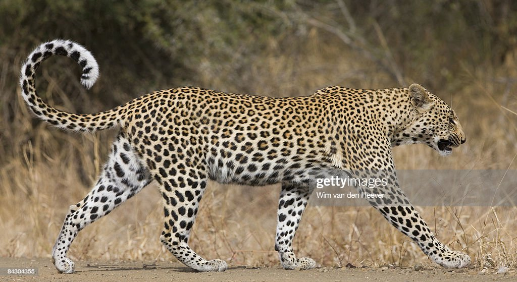 Leopard Walking Stock Photo | Getty Images | 1024 x 559 jpeg 345kB