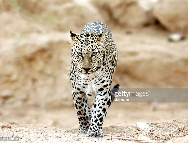 Leopard walking to you