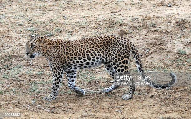A leopard walks through the bush at Yala National Park in the southern district of Yala around 250 kms southwest of Colombo on September 16 2012 Yala...
