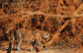 A leopard walks through Yala National Park in the southern district of Yala some 250 kms southwest of Colombo on August 24 2014 Yala National Park is...