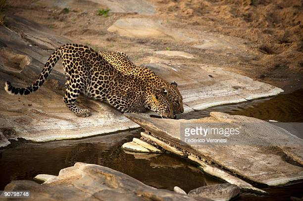 Leopard (Panthera Pardus) with ten months old cub drinking from Talek River, Masai Mara, Kenya