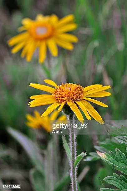 Leopard's bane / mountain arnica / wolf's bane in flower