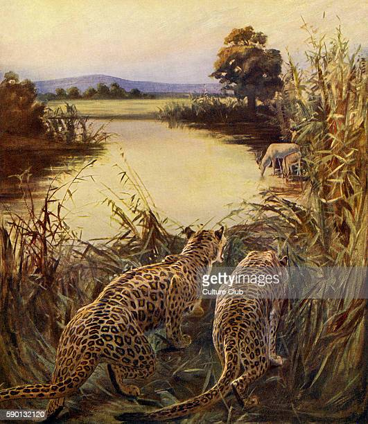Leopards hunting gazelles in the Jordan river valley 1913 illustration based on travel in the Holy Land