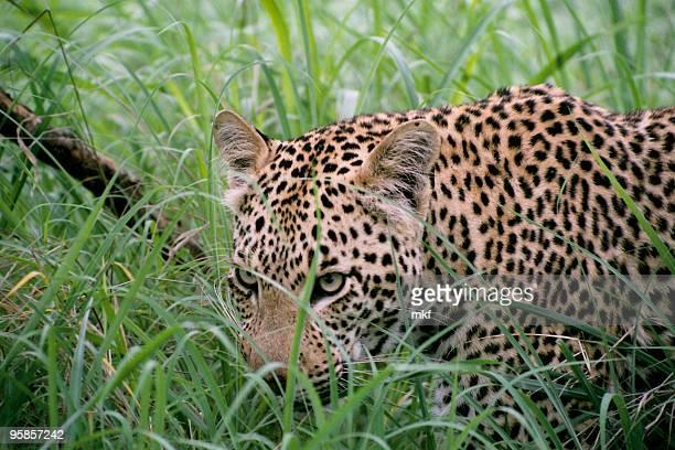 Lepard in high grass