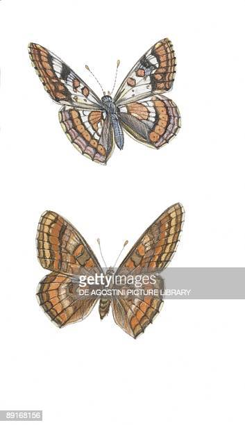 Lepidoptera euphydryas intermedia and euphydryas cynthia illustration