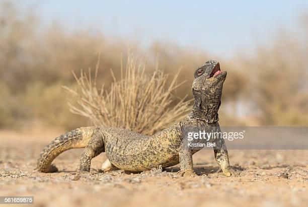 Leptein's spiny-tailed lizard (Uromastyx leptieni)