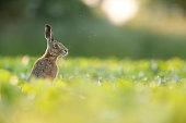 Lepus europaeus - European brown hare in crop field