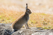 The mountain hare (Lepus timidus), also known as blue hare, tundra hare, variable hare, white hare, snow hare, alpine hare and Irish hare, is a hare that is largely adapted to polar and mountainous ha