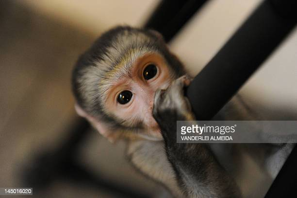 'Lequinho' a twomonthold 'green monkey' a species originary from South Africa in Rio de Janeiro Brazil on May 22 2012 Lequinho whose mother died upon...