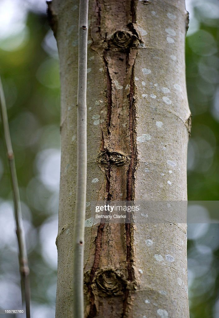 A lesion on an infected Ash tree in Pound Farm Woodland on November 8, 2012 near Ipswich, United Kingdom. The Ash Dieback outbreak has the potential to devastate the UK's population of 80 million ash trees. The first confirmed case in the UK was in March 2012, and since then, dieback has been confirmed at a further 82 sites, with woodlands in Norfolk, Suffolk, Kent and Essex among the worst affected and has now spread to Scotland. Dieback is caused by a fungus Chalara Fraxinea and was first recorded in Eastern Europe in 1992, spreading over two decades to infect most of the continent.