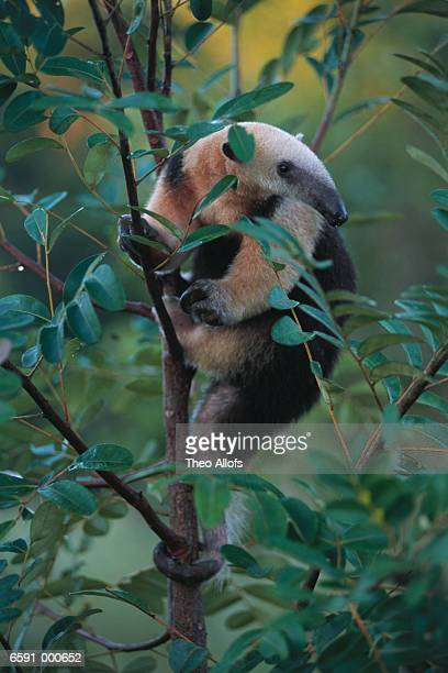 Lesser Anteater Climbs Tree