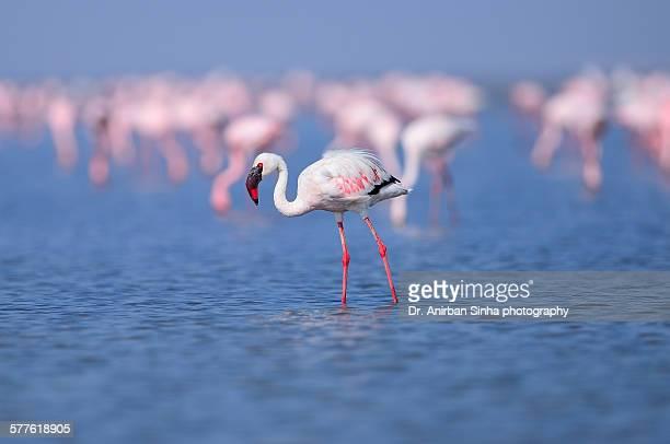 A Lesser flamingo