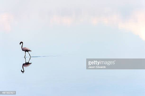 A Lesser Flamingo reflected in the surface of a calm waterhole with the sunset afterglow.