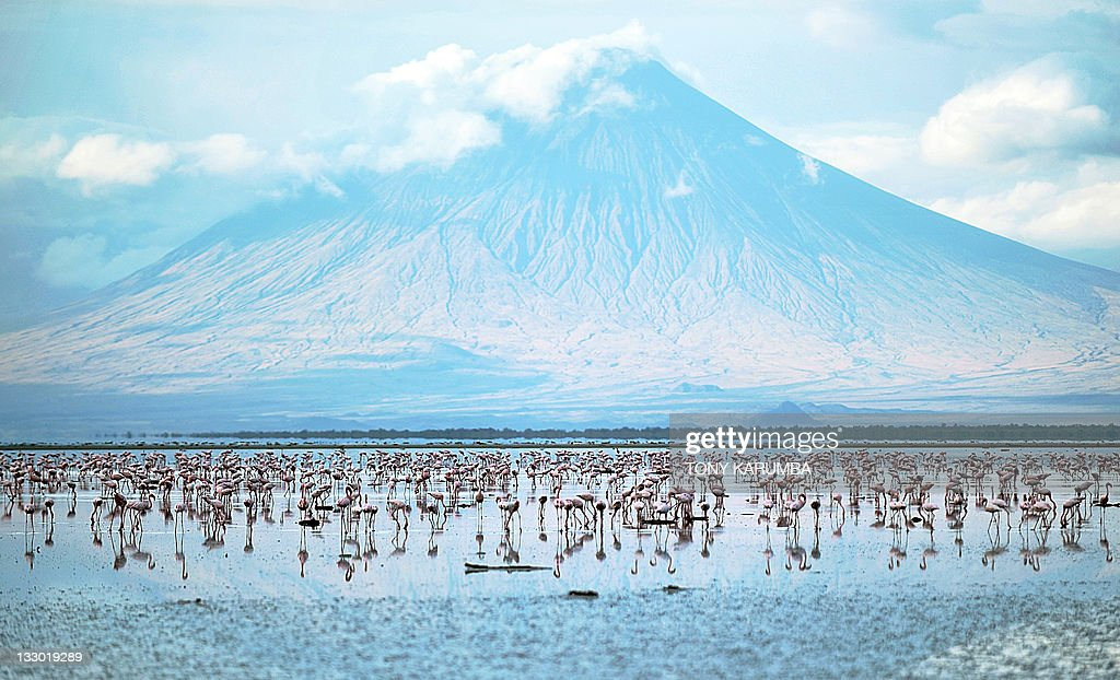 Lesser flamingoes are pictured on September 30, 2011 at the Lake Natron at the foot of Ol Doinyo Lengai. Salmon-coloured clouds of flamingoes sweeping overhead is a common sight at east Africa's Rift Valley lakes, but the mounds of mud where they lay their eggs are found only here. The caustic waters of Lake Natron form the only breeding ground for east Africa's endangered lesser flamingoes, but the Tanzanian government is determined to revive plans to build a soda ash plant at the lake.