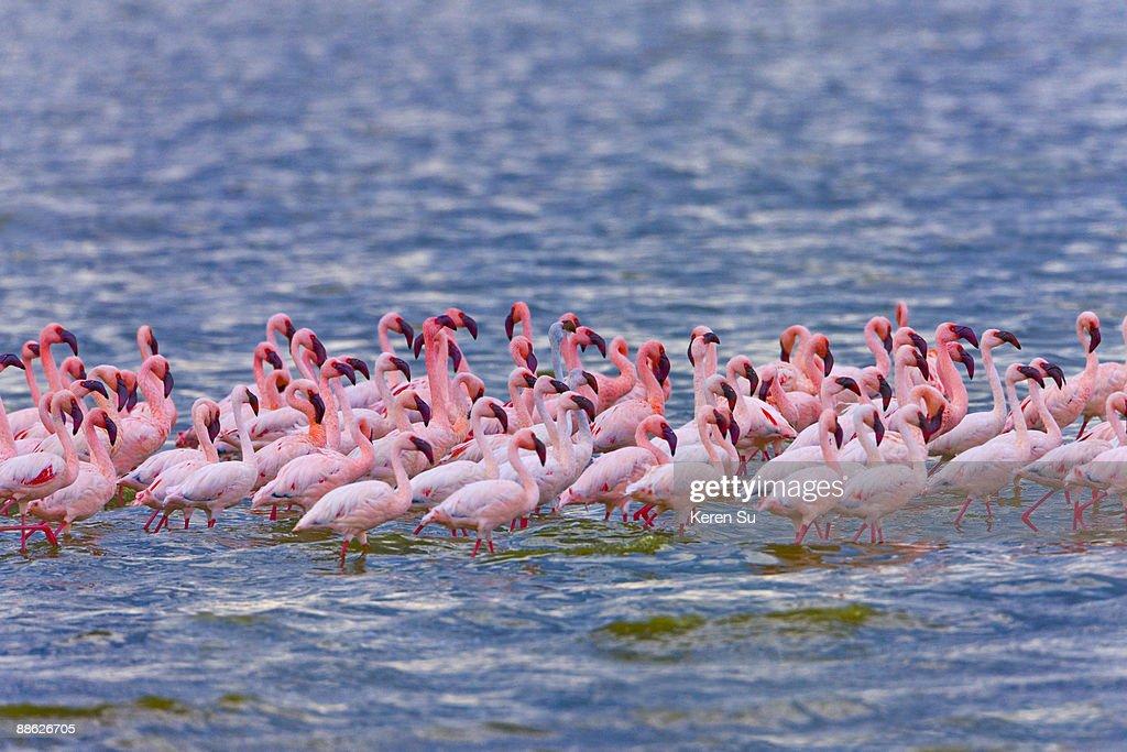 Lesser Flamingoes (Phoenicopterus minor) : Stock Photo