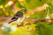 Lesser Goldfinch, Walnut Creek, CA, USA