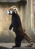 A lesser or red panda stands on its hind legs at Chiba Zoological Park on May 20 2005 in Chiba Japan The panda can maintain the position for over...