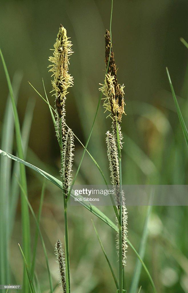 lesser pond sedge, carex acutiformis
