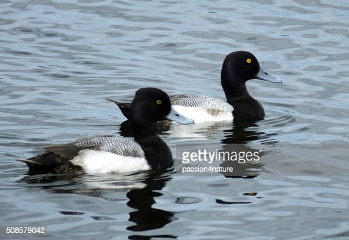 Lesser Scaup (Aythya affinis) : Stock Photo
