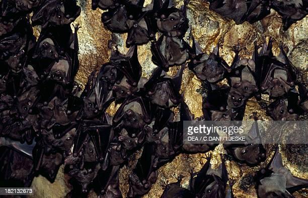 Lesser shortnosed fruit bat Pteropodidae Goa Lawah Bali Island Indonesia
