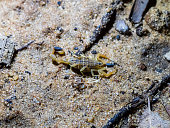 Lesser Thicktailed Scorpion (Uroplectes carinatus) from Cape Town, South Africa.