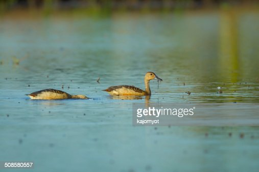 Lesser whistling duck : Stockfoto