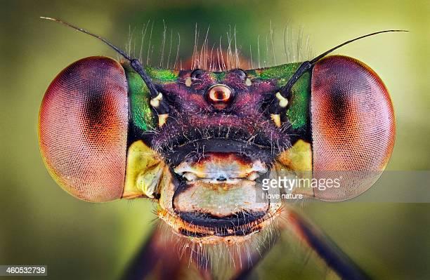 Lestes Viridis Female - Portrait