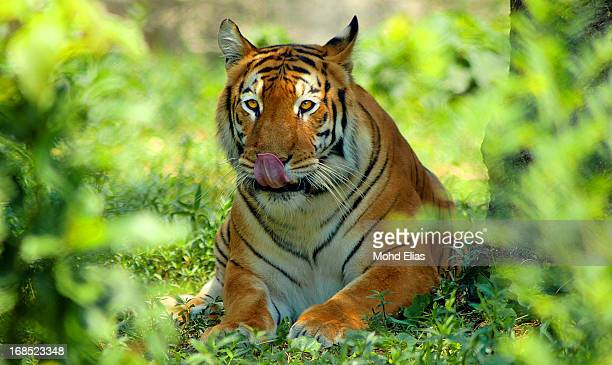 Lets meet with the mighty - ROYAL BENGAL TIGER