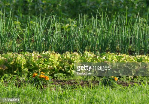 Lettuce and onion garden Rows : Stock Photo