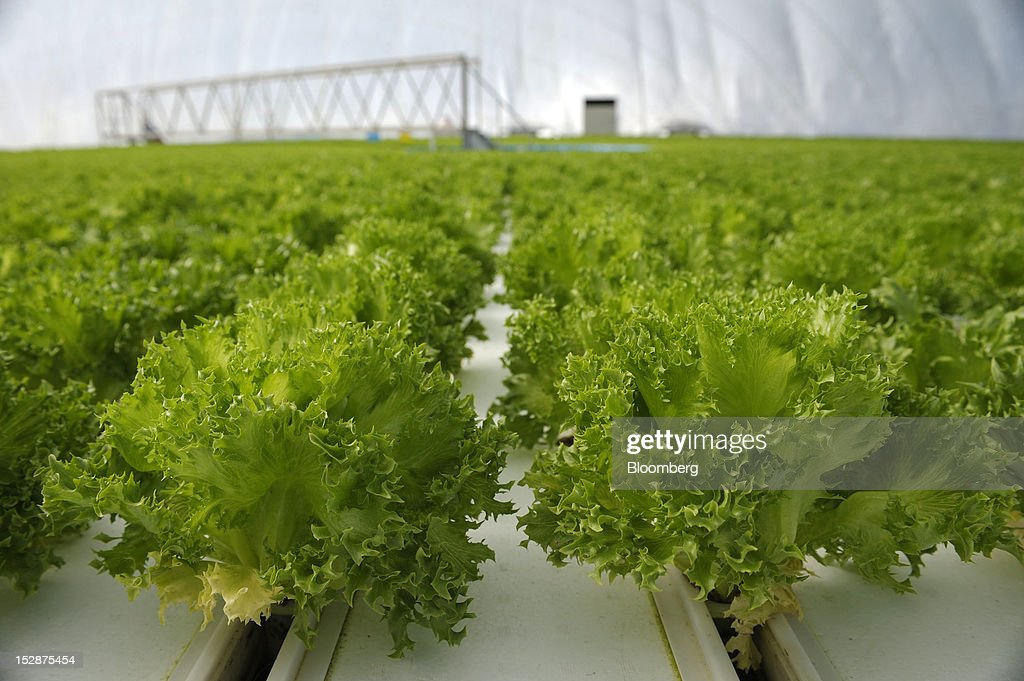 Lettuce grow in a vegetable plant at Granpa Farm Rikuzentakata, in Rikuzentakata City, Iwate Prefecture, Japan, on Wednesday, Sept. 26, 2012. A total of 8 dome-shaped hydroponic vegetable plants operated by Granpa Farm Rikuzentakata, a group farming subsidiary of Granpa Co. which was opened last month as part of the region's reconstruction efforts in an area damaged by the tsunami following the earthquake on March 11, 2011, produces 3,600 heads of lettuce a day. Photographer: Akio Kon/Bloomberg via Getty Images