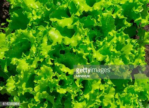 Alface a crescer no jardim : Foto de stock