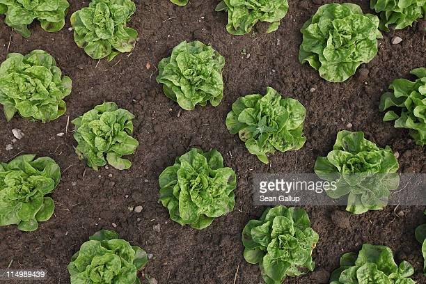Lettuce grows at the Teltower Ruebchen organic vegetable farm on June 1 2011 in Teltow Germany Telwtower Ruebchen owners Axel and Beate Szilleweit...