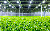 Organic lettuce growing in a modern greenhouse