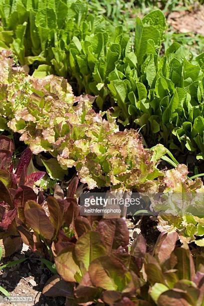 Salade en rangées