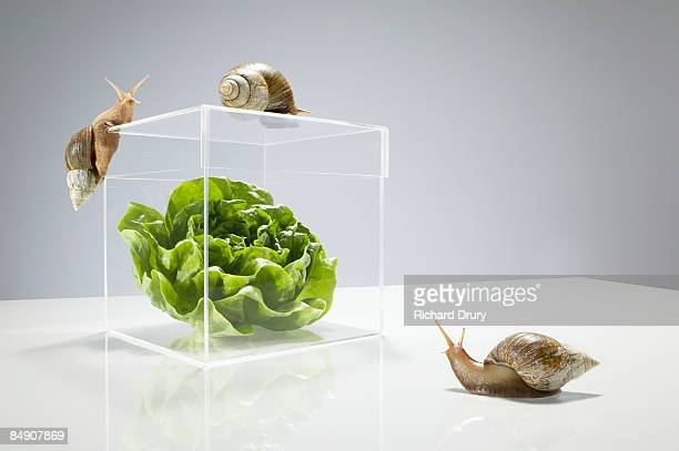 Lettuce in transparent box surrounded by snails